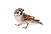 Eurasian Tree Sparrow, Passer Montanus, Isolated On White Background