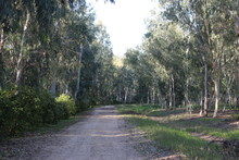 Road In The Eucalyptus Grove
