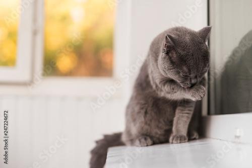 Obraz Close up of grey british shorthair cat cleaning himself - fototapety do salonu