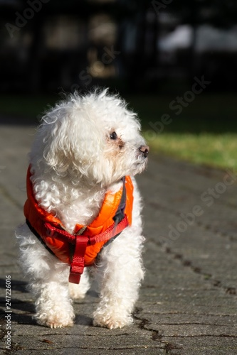 Fotografie, Obraz  Cute small white bichon dog playing in the park. Slovakia
