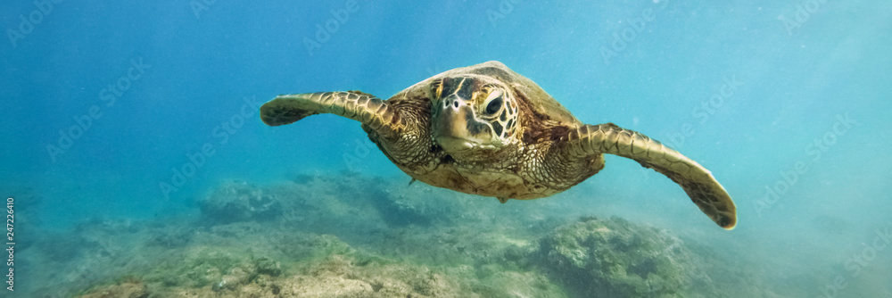 Fototapety, obrazy: Green sea turtle above coral reef underwater photograph in Hawaii