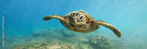 Green sea turtle above coral reef underwater photograph in Hawaii Wallpaper Mural