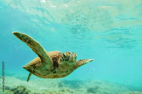 In de dag Onder water Green sea turtle above coral reef underwater photograph in Hawaii