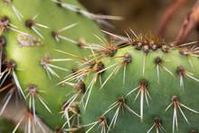 Closeup Of A Prickly Pear Cactus (Opuntia)