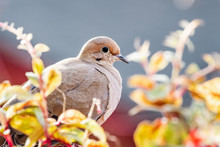 Close Up Of Mourning Dove Sitt...
