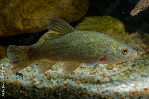 Doctor fish (Tinca tinca) captured under water Canvas-taulu