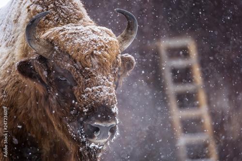 Fotografia, Obraz Bison or Aurochs in winter season in there habitat