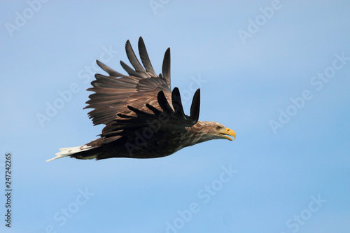 Lofoten's eagle screaming Canvas Print