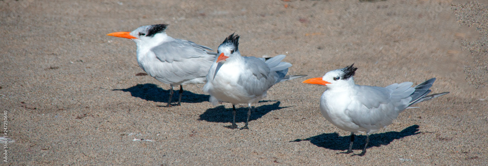 Three Black Crested Seagulls at McGrath State Park nature preserve in Ventura - Oxnard on the California gold coast - United States