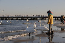 Woman And Beautiful, White Swans On The Sea Beach. Baltic Coast. A Cold, Frosty, Sunny Day. In The Background A Wooden Pier In Sopot. Floating Swans In The Sea. A Blue, Clear, Cloudless Sky.