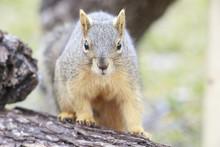 Fox Squirrel Eating Feeds Backyard Feeder Home Outside