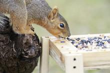 Fox Squirrel Outside Backyard Home Feeder