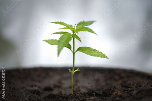 Photo  seedling of cannabis, Growth of marijuana trees , Cannabis leaves of a plant on a dark background, medicinal agricultur