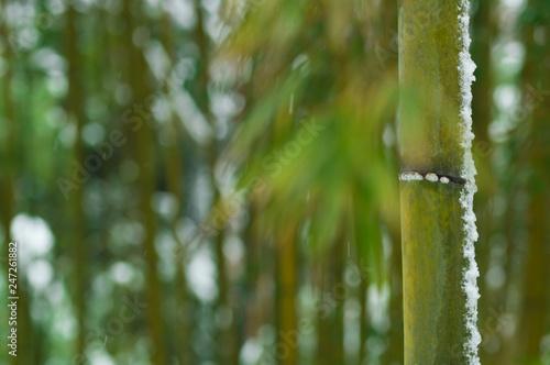 雪景色の竹林