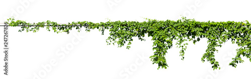 vine plant climbing isolated on white background with clipping path included Obraz na płótnie