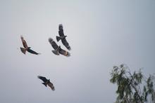 Flock Of Migratory Hawk, Nakhonnayok Thailand