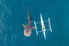 Aerial View From The Drone. Fishermen Feed Gigantic Whale Sharks ( Rhincodon Typus) From Boats In The Sea In The Philippines, Oslob...  These Sharks Have No Teeth And Are Filter Feeders.