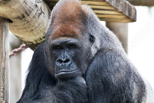 Gorilla at the Gladys Porter Zoo in Brownsville Texas