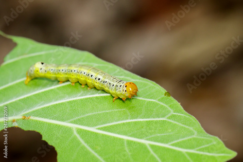 Image of Green worms (caterpillars) on green leaf. Insect. Animal.
