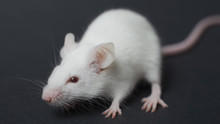 Funny Rat Isolated On Black Ba...