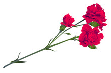Red Carnation Flower Bouquet Bud Isolated On White Background