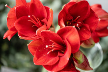 Close Up Of A Red Amaryllis. A...