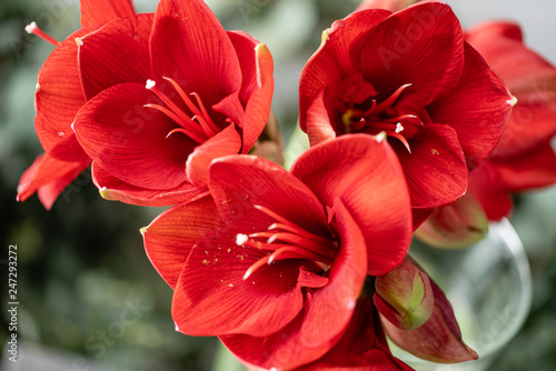 Close up of a red amaryllis. Amaryllis flowers in Glass vase. Flower shop concept, Wallpaper