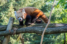 Red Panda Ailurus Fulgens On A Branch. Sunny Day