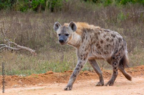 Poster Hyène spotted hyena walking