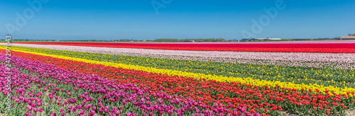 Panorama of a colorful tulips field in Noordoostpolder, Netherlands