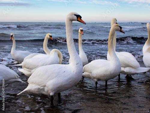 Fotografía  A flock of white swans on the beach.