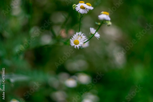 Photos of some small white flowers, Great Himalayan National Park, Sainj Valley, Canvas Print