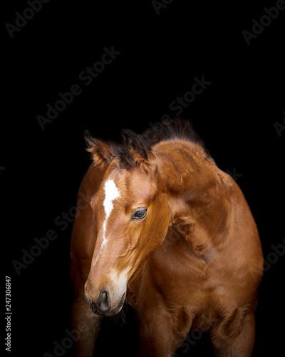 Murais de parede Foal Horse