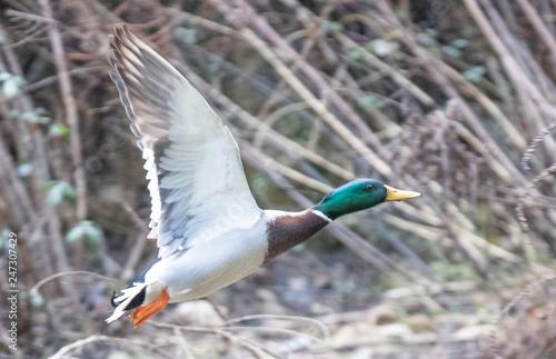 Photo envol de canard col vert