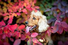 English Cocker Spaniel Portrait Outdoor In Autumn Park