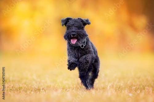 Fotomural  Black Schnauzer dog paly in autumn park