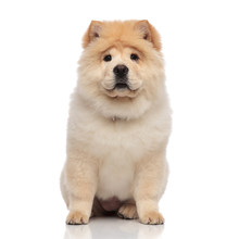 Cute Female Chow Chow With Yellow Fur Sitting