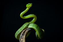 Green Insularis Pit Viper