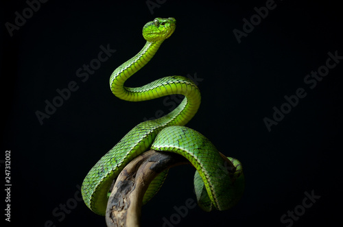 Photo Green insularis pit viper