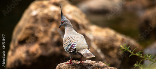 Colourful crested pigeon is a bird found widely throughout mainland Australia.