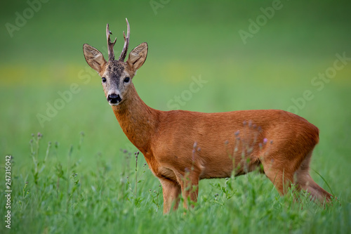 Foto op Plexiglas Ree Roe deer buck in summer. Mammal, capreolus capreolus, on green meadow with blurred background. Male wild animal in nature. Wildlife scenery.