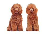 Coolage Of The Same Poodle Dog Before And After Grooming