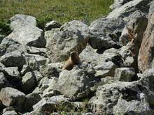 Groundhog In Stones.
