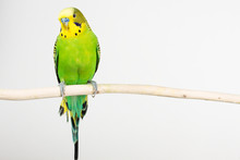 Budgerigar On White Background Isolate