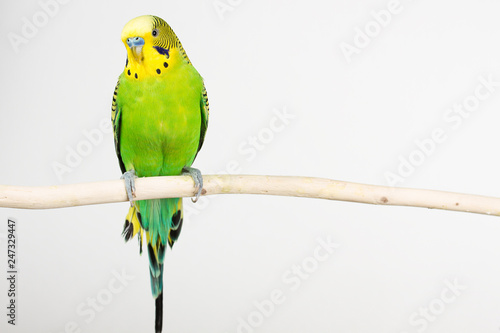 Obraz na plátně budgerigar on white background isolate