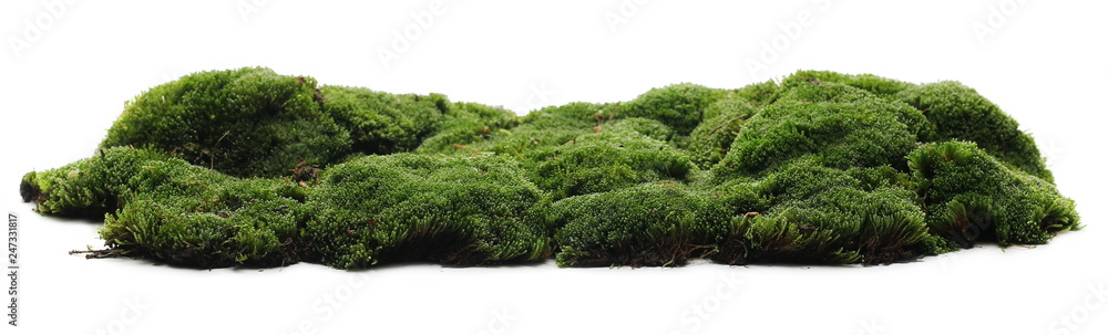 Fototapety, obrazy: Green moss isolated on white background