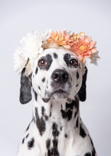 Cute Dalmatian Dog With White And Yellow Floral Crown, Seen From The Front On A White Background. Chrysanthemum Flower Wreath. Copy Space. Pet Portrait