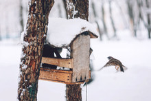 Birds Sparrows Eating Seed From Bird Feeder In The Winter Park. Wooden Handmade Bird Feeder In Winter Snow Cold Day.