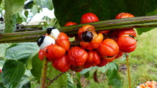 Guanará Fruits (Paullinia Cupana) Sapindaceae Family. Amazon Rainforest, Brazil