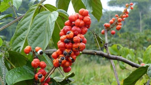 Fotografie, Obraz  Guanará fruits (Paullinia cupana) Sapindaceae family